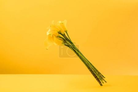 beautiful blooming yellow calla lily flowers isolated on yellow
