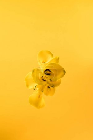 top view of beautiful yellow calla lily flowers isolated on yellow