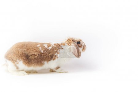 Studio shot of rabbit isolated on white