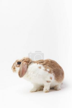 Closeup view of sitting rabbit isolated on white