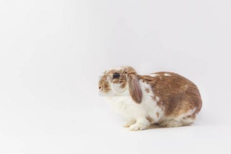 Studio shot of sitting brown and white rabbit