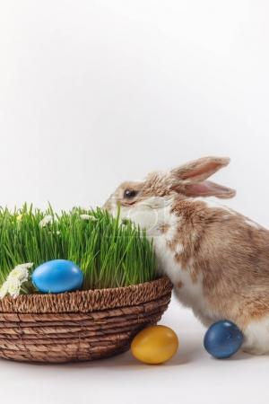 Photo pour Lapin près de panier de Pâques avec herbe et oeufs, concept de Pâques - image libre de droit