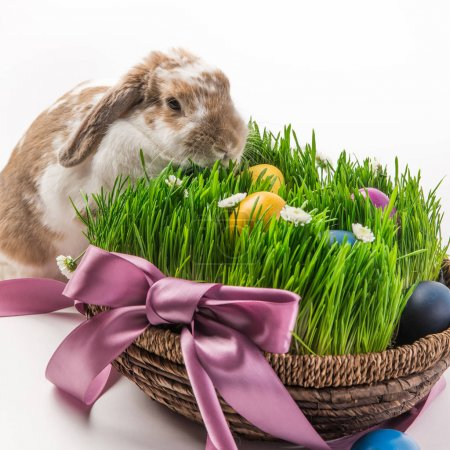 Rabbit near basket with grass and painted in different colors eggs, easter concept