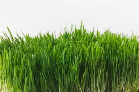 Photo pour Vue de face de tiges d'herbe verte isolé sur blanc - image libre de droit