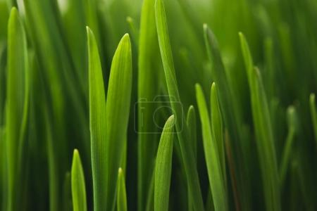 Photo for Full frame of green grass stems - Royalty Free Image