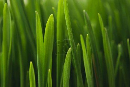 Photo pour Plein cadre des tiges d'herbe verte - image libre de droit
