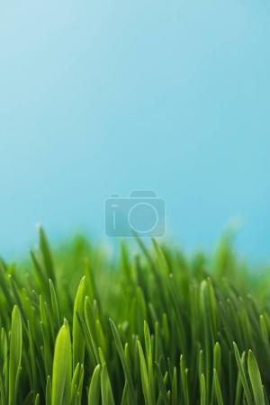 Closeup view of green grass stems isolated on blue