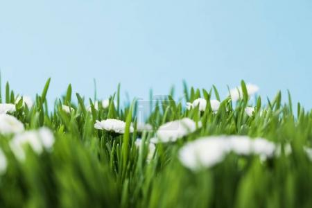 Photo for View of camomiles and grassplot isolated on blue - Royalty Free Image