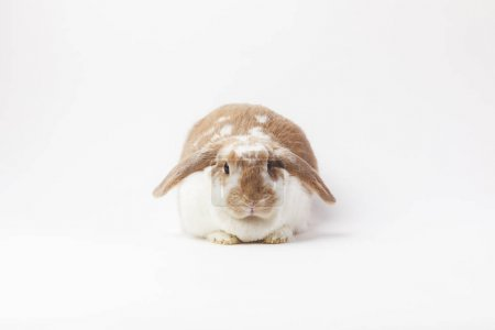 Studio shot of sitting rabbit isolated on white