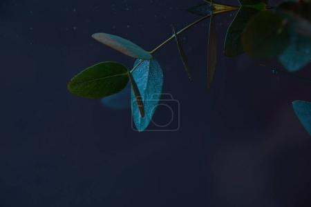 Photo for Close up view of eucalyptus plant with green leaves in water - Royalty Free Image