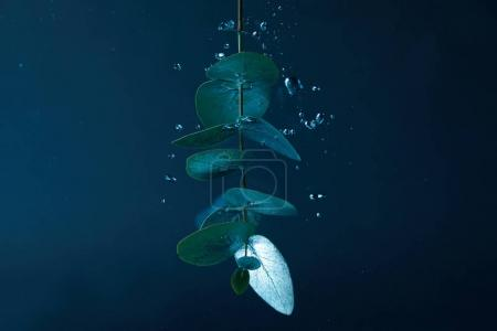 Photo for Close up view of eucalyptus plant with green leaves and bubbles in water - Royalty Free Image