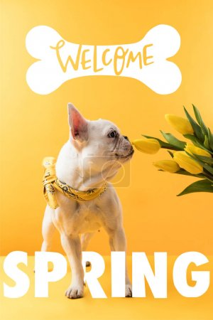 Photo for French bulldog dog and yellow tulips with WELCOME SPRING sign - Royalty Free Image