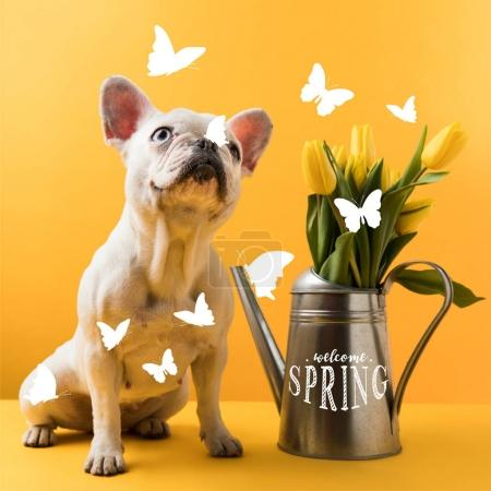 Photo for Cute french bulldog sitting near watering can with yellow tulips and WELCOME SPRING lettering on yellow - Royalty Free Image