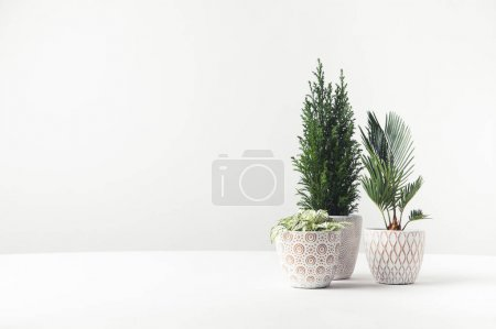 Photo for Beautiful green home plants growing in decorative pots on white - Royalty Free Image
