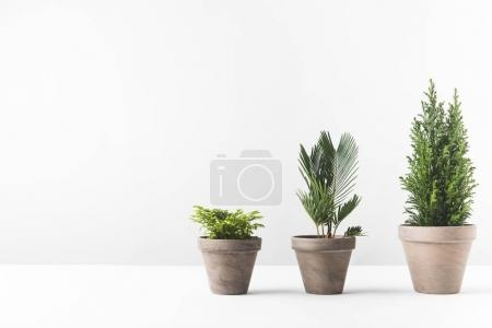 Photo for Beautiful green home plants growing in pots on white - Royalty Free Image