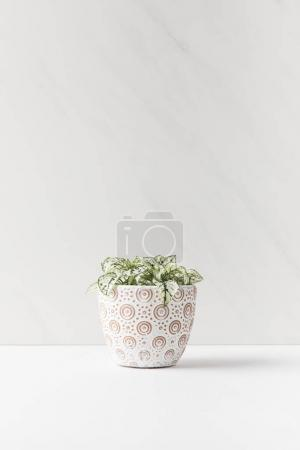 Photo for Beautiful small green home plant in decorative pot on white - Royalty Free Image