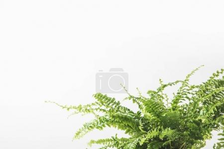Photo for Close-up view of beautiful green fern houseplant isolated on white - Royalty Free Image