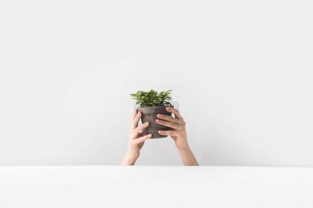 close-up partial view of person holding tiny potted houseplant in hands on white