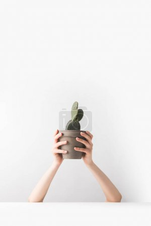 Photo for Cropped shot of person holding beautiful green potted cactus in hands on white - Royalty Free Image