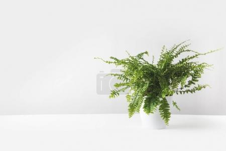 Photo for Beautiful green fern plant in pot on white - Royalty Free Image