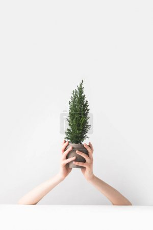 Photo for Cropped shot of person holding beautiful green potted houseplant in hands on white - Royalty Free Image