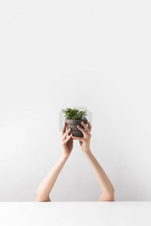 cropped shot of person holding tiny potted houseplant in hands on white