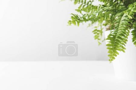 green leaves of beautiful potted fern on white