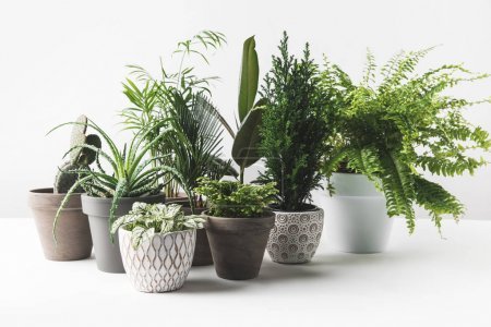 Photo for Various beautiful green plants in pots on white - Royalty Free Image