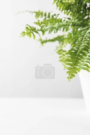close-up view of green leaves of beautiful potted fern on white