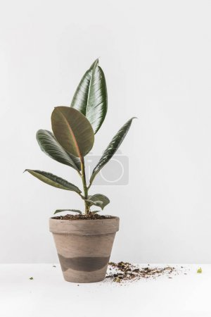 Photo for Close-up view of beautiful green ficus in pot and soil on white - Royalty Free Image