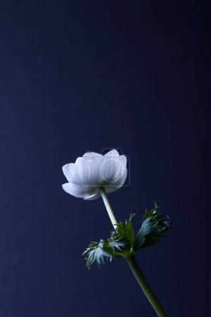 anemone flower with green leaves isolated on blue