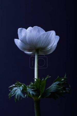 white anemone flower with green leaves isolated on black