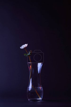 one white anemone flower in vase with water on dark surface