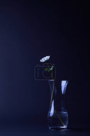 white anemone flower with green leaves in vase isolated on black