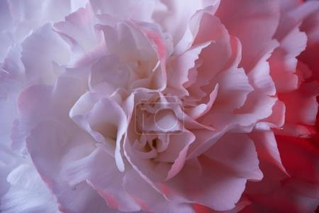 close up of white carnation flower with pink light