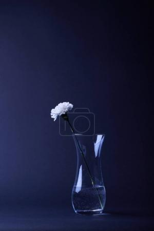 Photo for One white carnation flower in reflecting vase with water on dark - Royalty Free Image