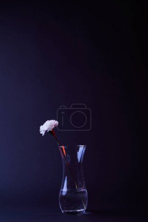 one white carnation flower in vase with water isolated on black