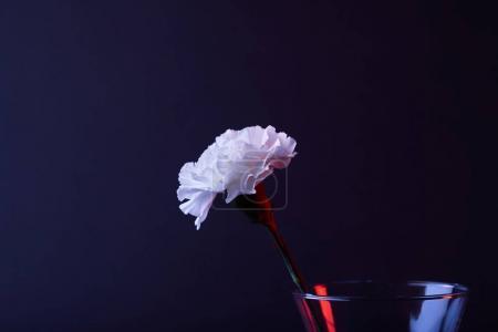 one white carnation flower in vase isolated on black