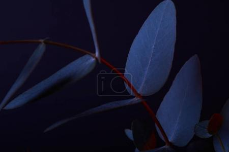 eucalyptus leaves on red twig on dark