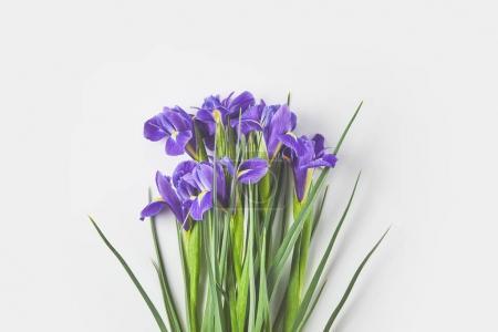Photo pour Belles fleurs élégantes d'iris avec des feuilles vertes sur gris - image libre de droit