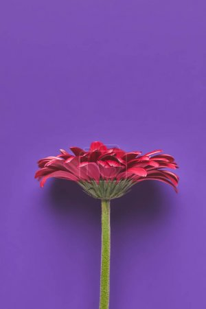 Photo for Top view of beautiful single Gerbera flower on purple, mothers day concept - Royalty Free Image
