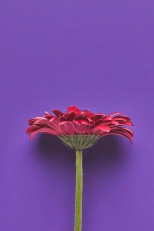 Photo pour Vue de dessus de belle fleur Gerbera simple sur violet, concept de fête des mères - image libre de droit