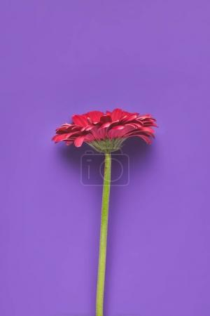 top view of single Gerbera flower on purple, mothers day concept