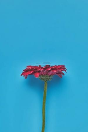 top view of beautiful single Gerbera flower on blue, mothers day concept