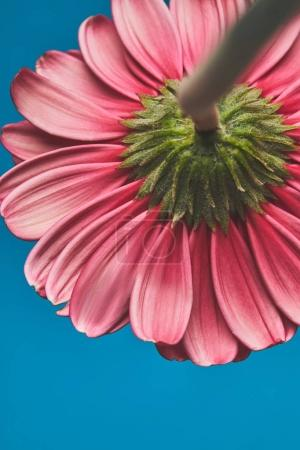 close-up shot of beautiful Gerbera flower on blue, mothers day concept