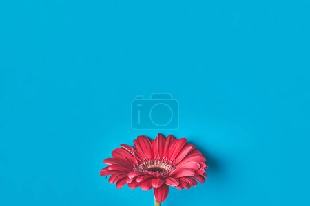 top view of single Gerbera flower on blue, mothers day concept