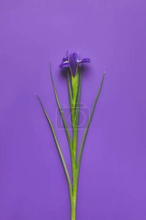 Photo for Top view of single iris flower on purple, mothers day concept - Royalty Free Image