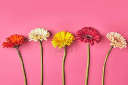 top view of colorful Gerbera flowers in row on pink, mothers day concept