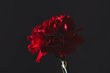 Photo for Close-up shot of red carnation flower on black, mothers day concept - Royalty Free Image