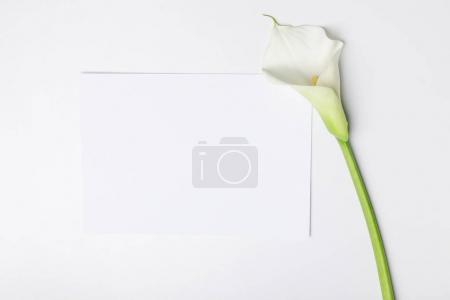 White calla flower with blank paper isolated on white